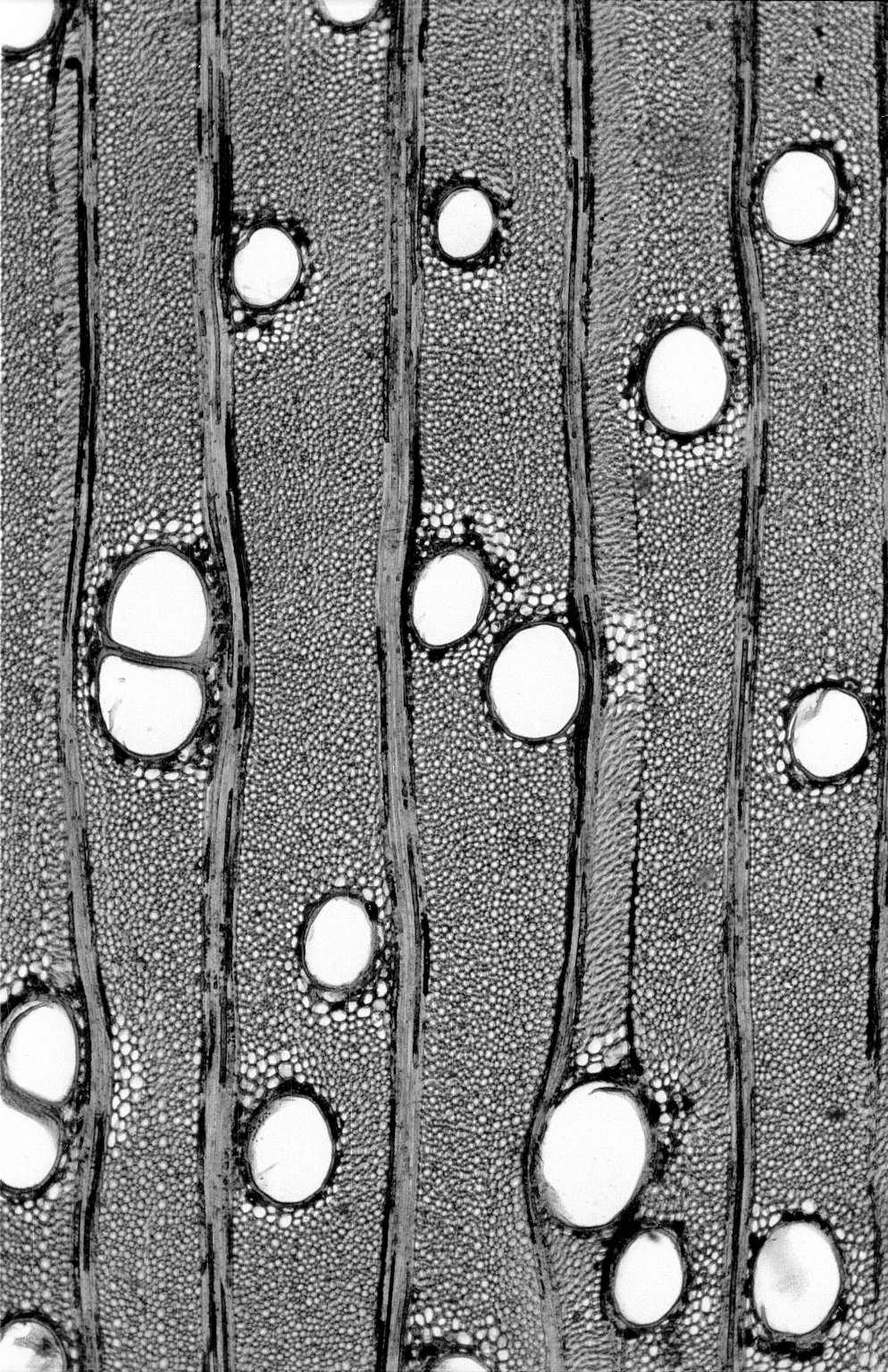 LEGUMINOSAE CAESALPINIOIDEAE Mimosoid Clade Vachellia nilotica