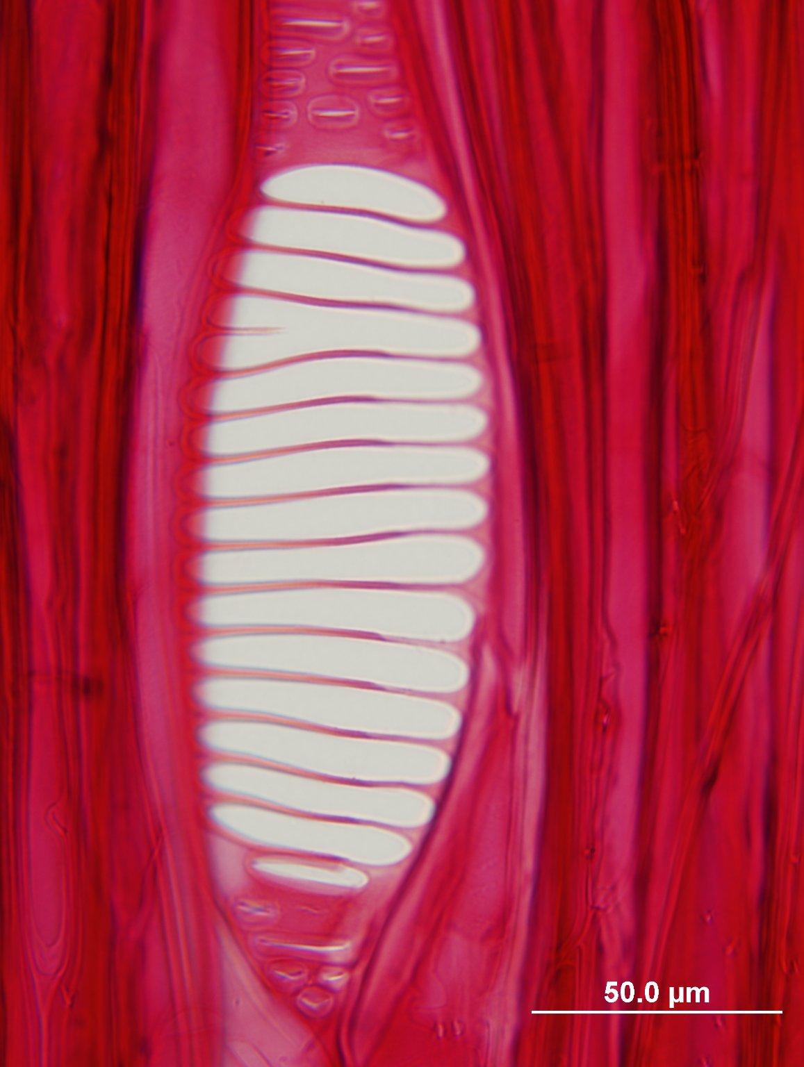 ATHEROSPERMATACEAE Atherosperma moschatum