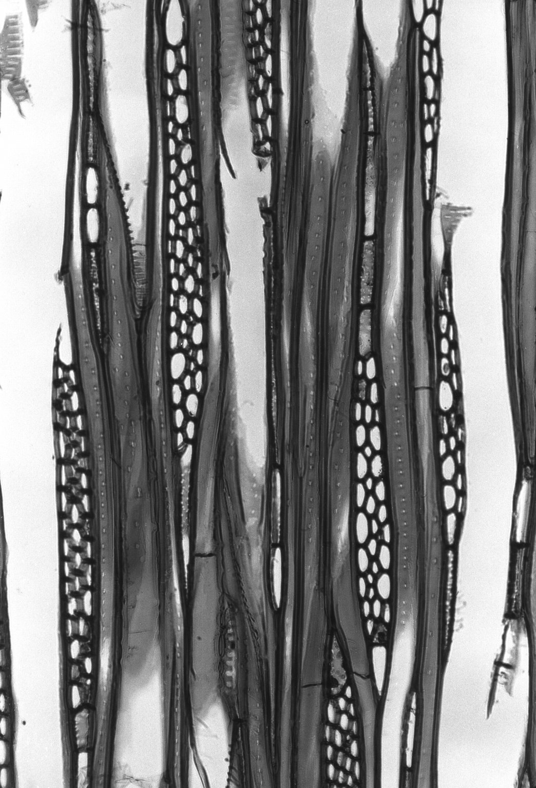 ATHEROSPERMATACEAE Doryphora aromatica