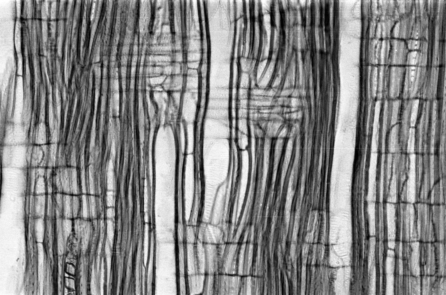 MYRTACEAE Myrceugenia planipes