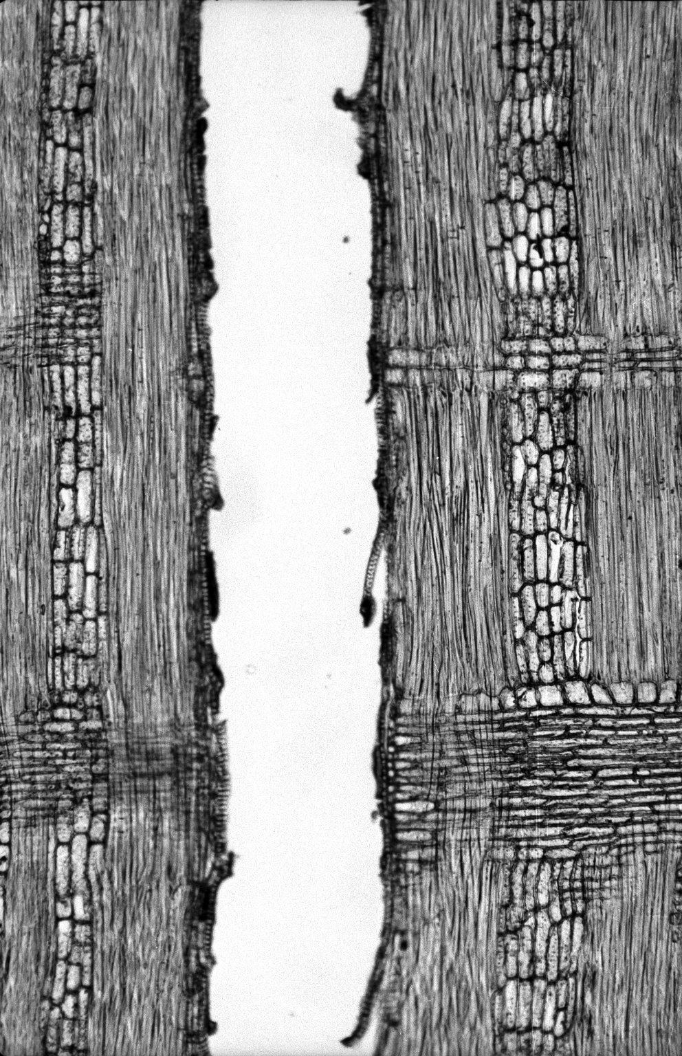 LEGUMINOSAE PAPILIONOIDEAE Amphimas pterocarpoides