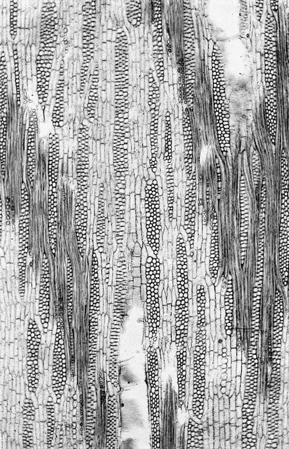 LEGUMINOSAE PAPILIONOIDEAE Aganope thyrsiflora