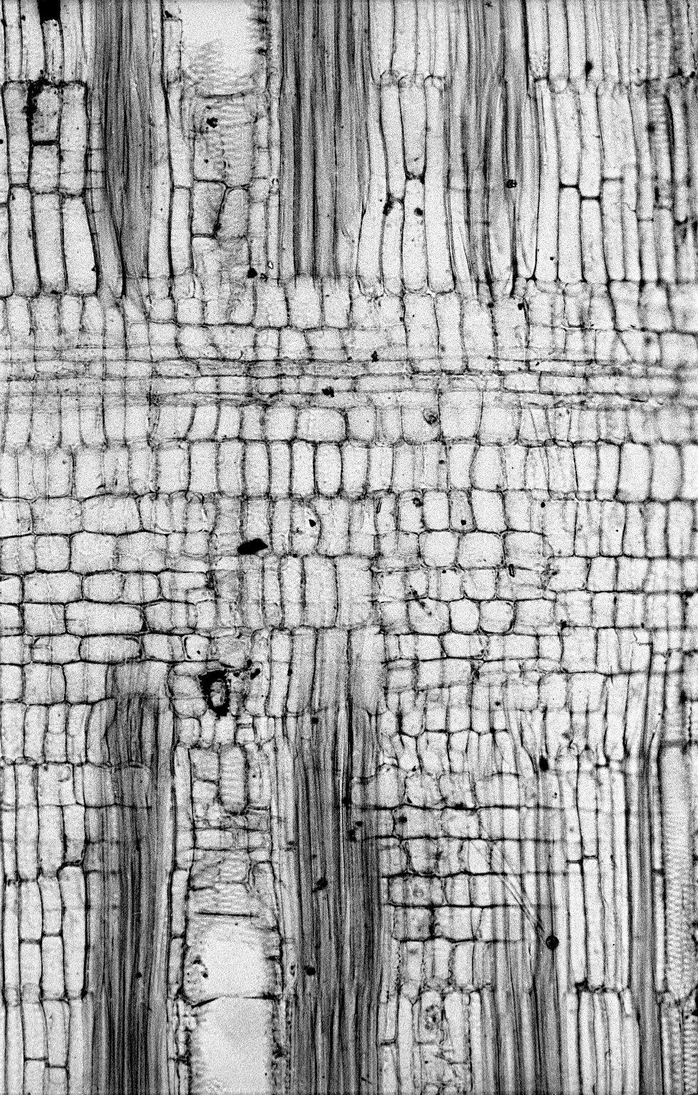 LEGUMINOSAE PAPILIONOIDEAE Millettia pachycarpa