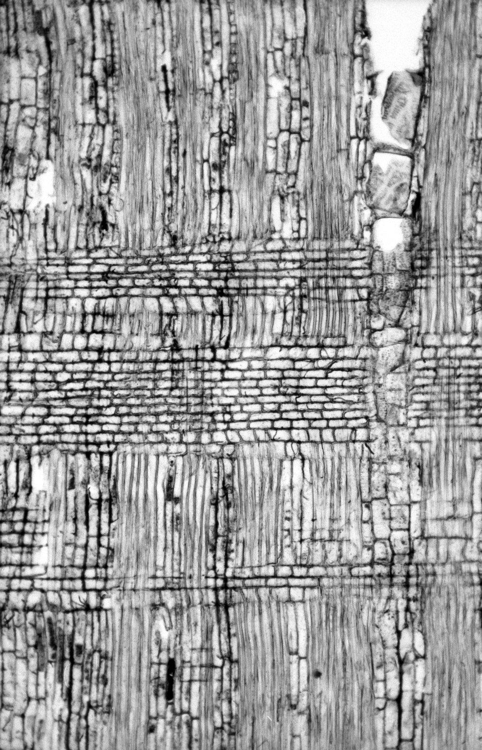 LEGUMINOSAE PAPILIONOIDEAE Ormosia cuatrecasasii
