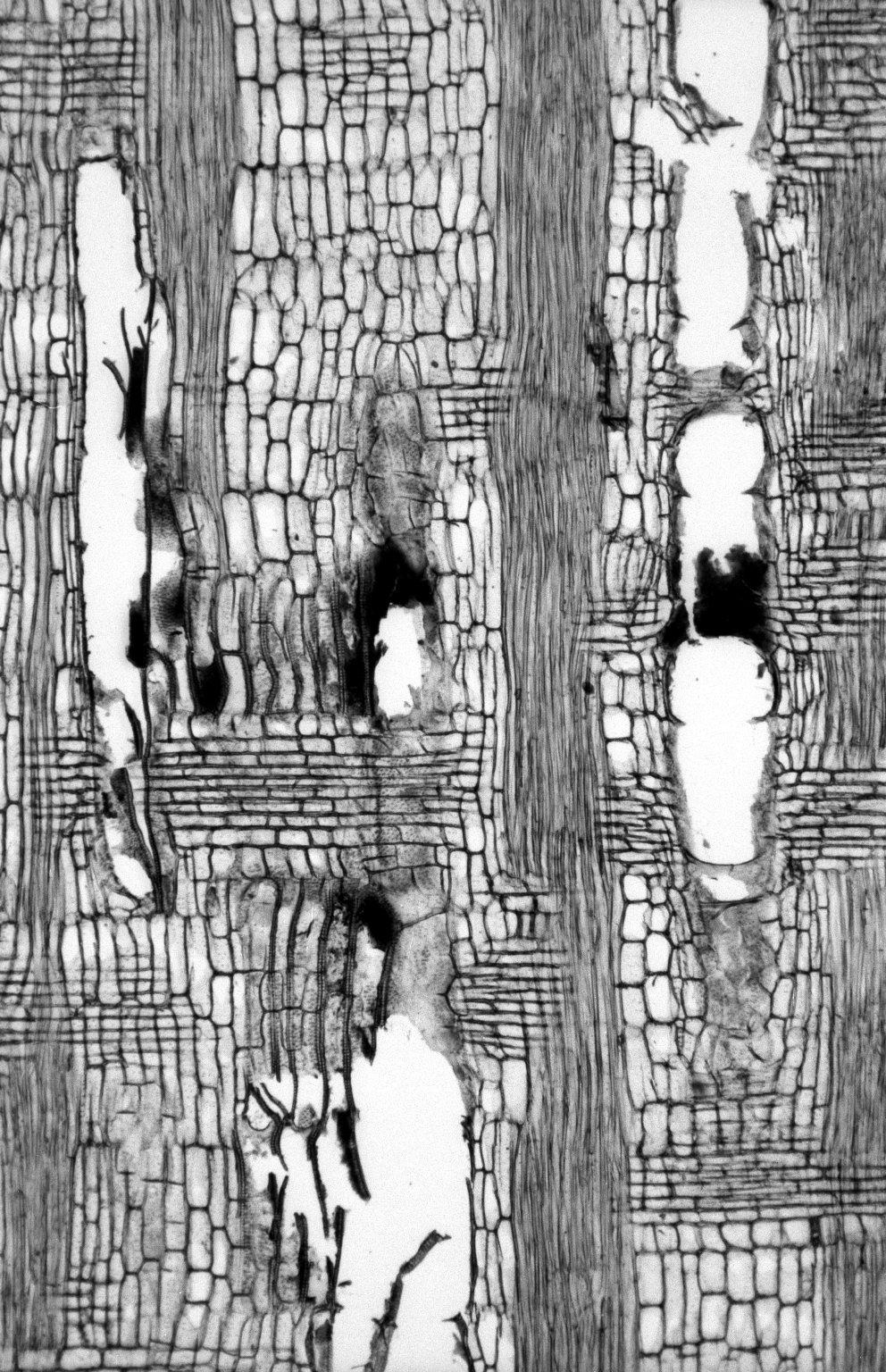 LEGUMINOSAE PAPILIONOIDEAE Ormosia excelsa