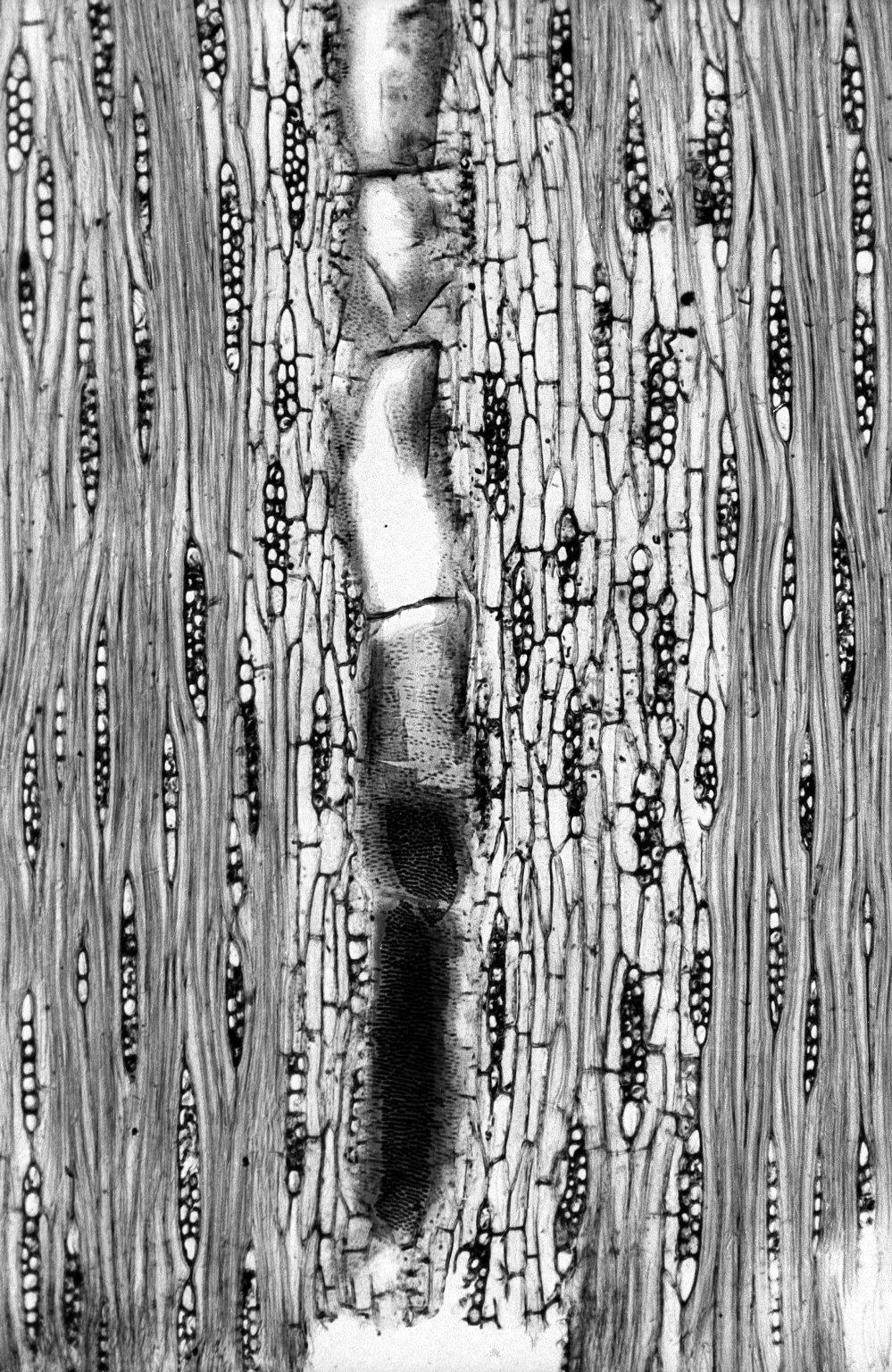 LEGUMINOSAE PAPILIONOIDEAE Ormosia fastigiata