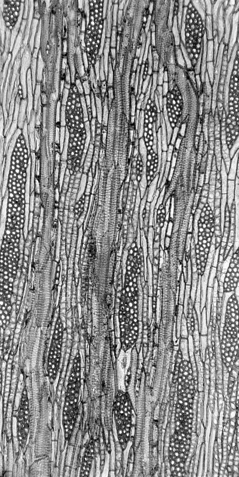 LEGUMINOSAE CAESALPINIOIDEAE Mimosoid Clade Prosopis juliflora