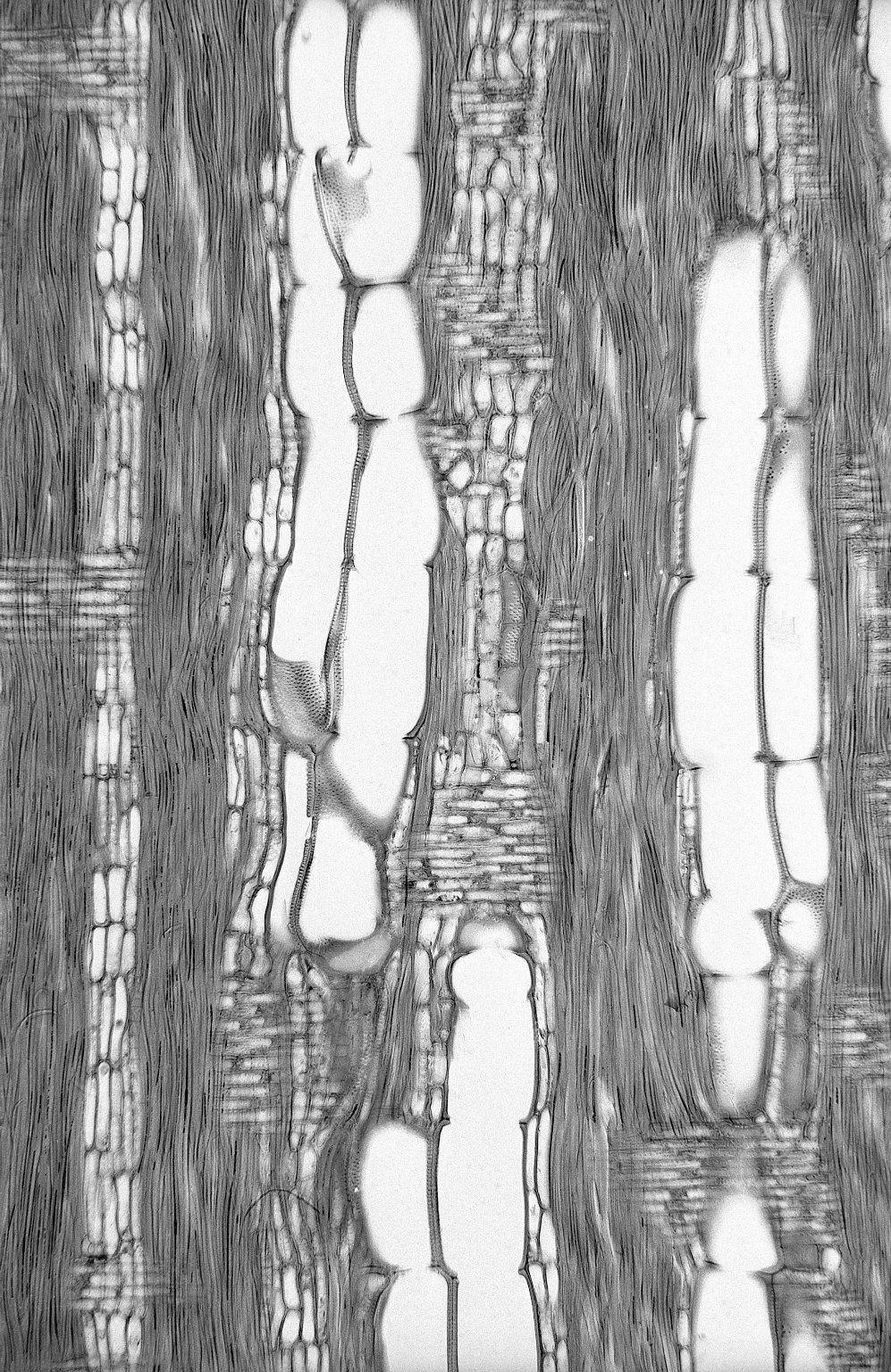 LEGUMINOSAE PAPILIONOIDEAE Schefflerodendron usambarense