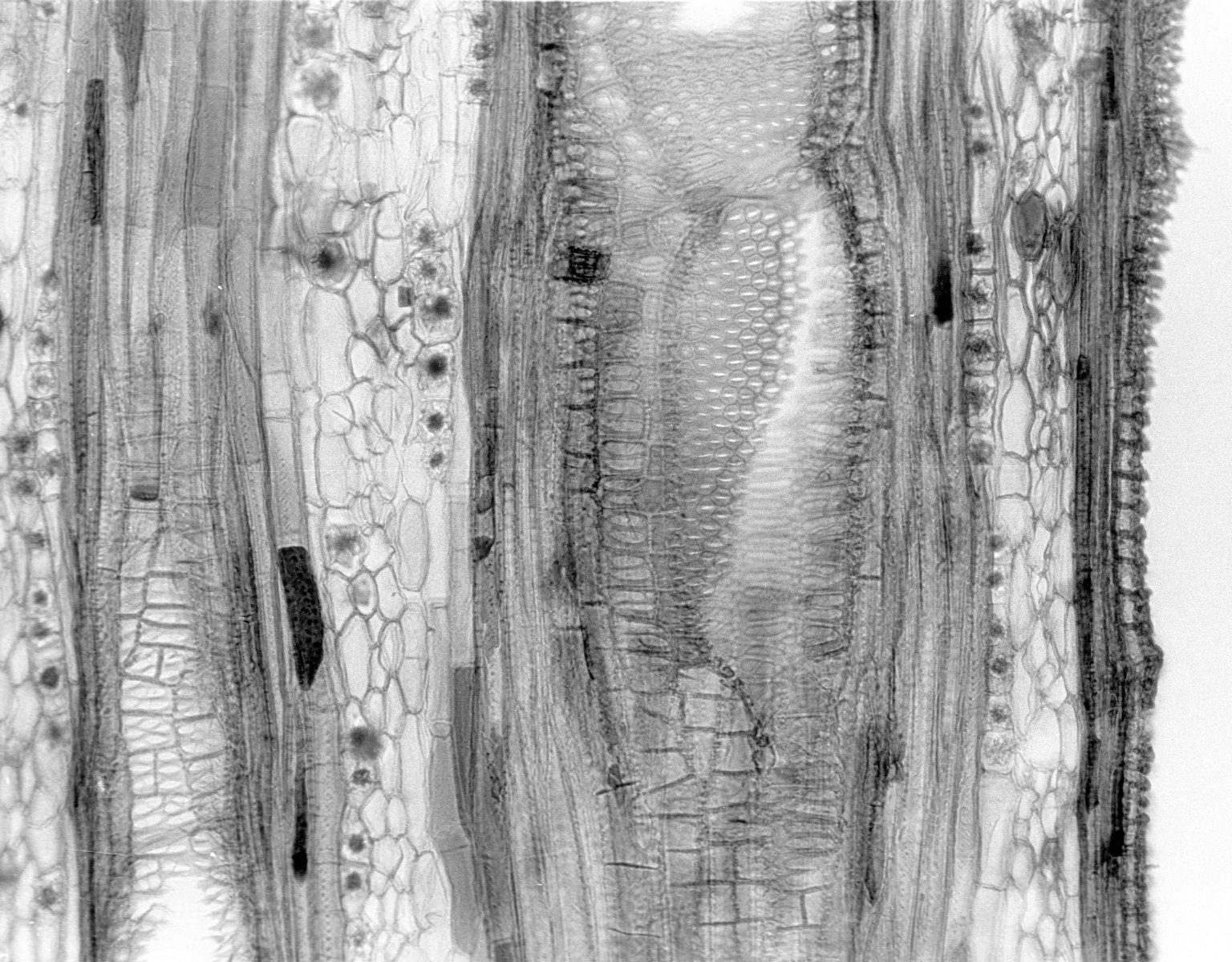 VITACEAE Tetrastigma sp.
