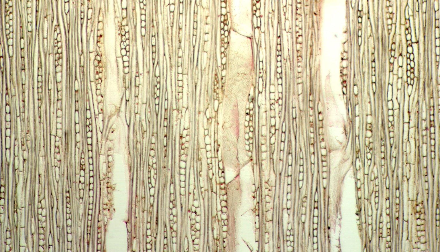 APOCYNACEAE Himatanthus lancifolius