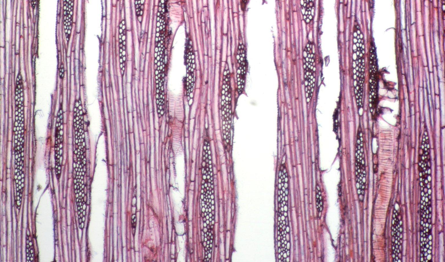 ARALIACEAE Oreopanax floribundum