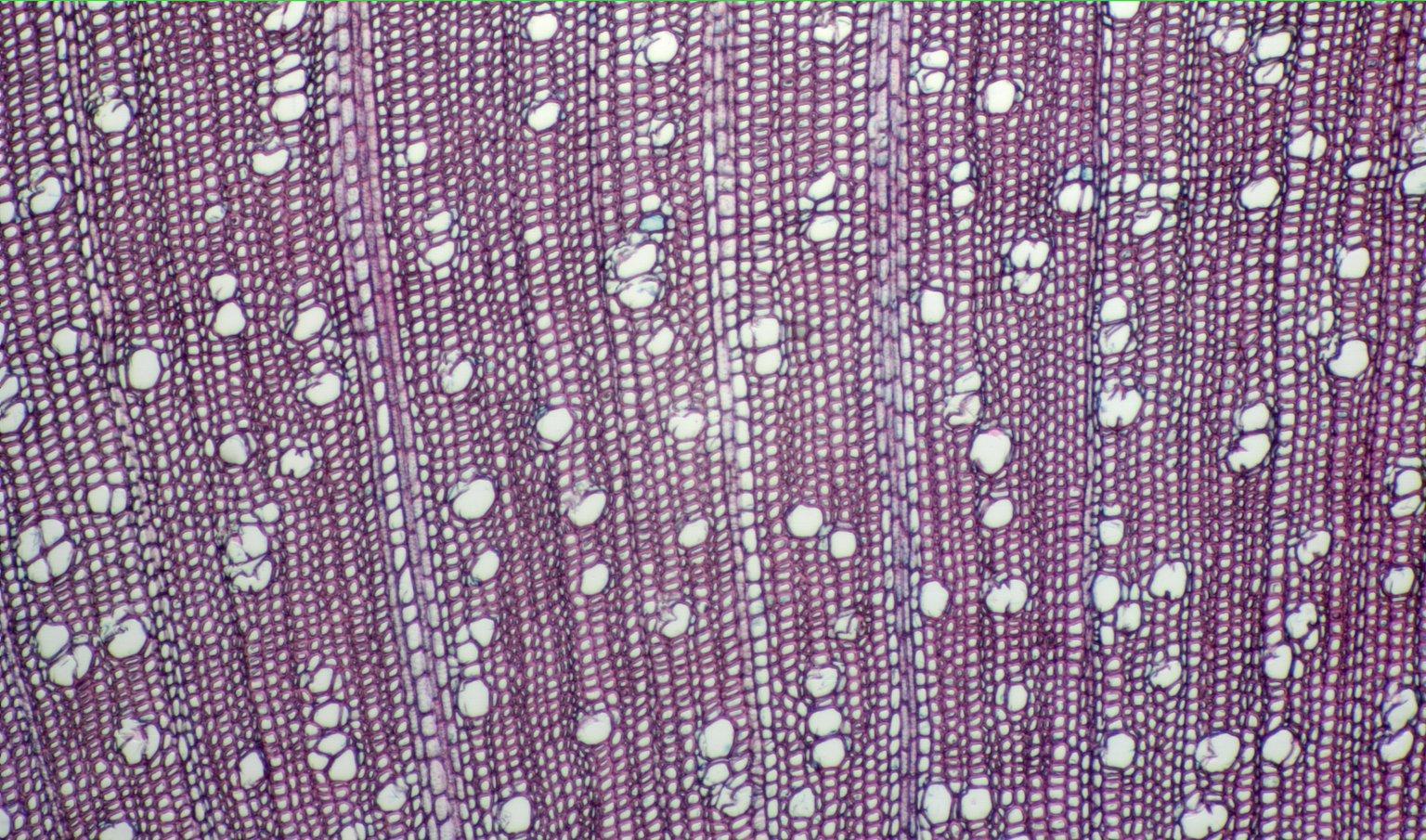 ARALIACEAE Schefflera glabra