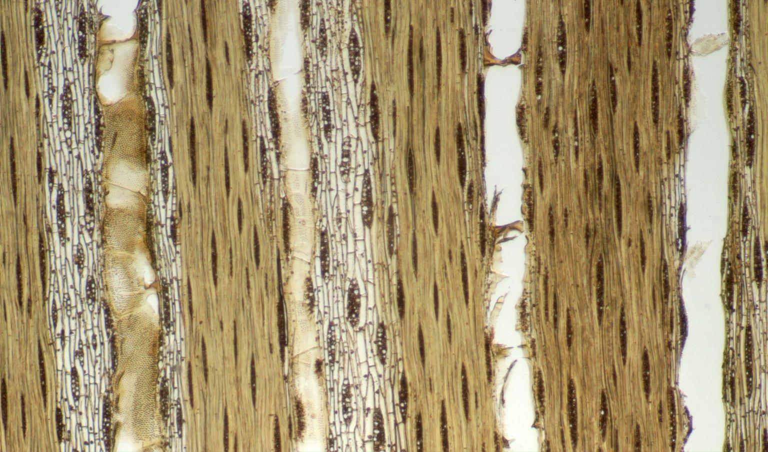LEGUMINOSAE CAESALPINIOIDEAE Chamaecrista apoucouita