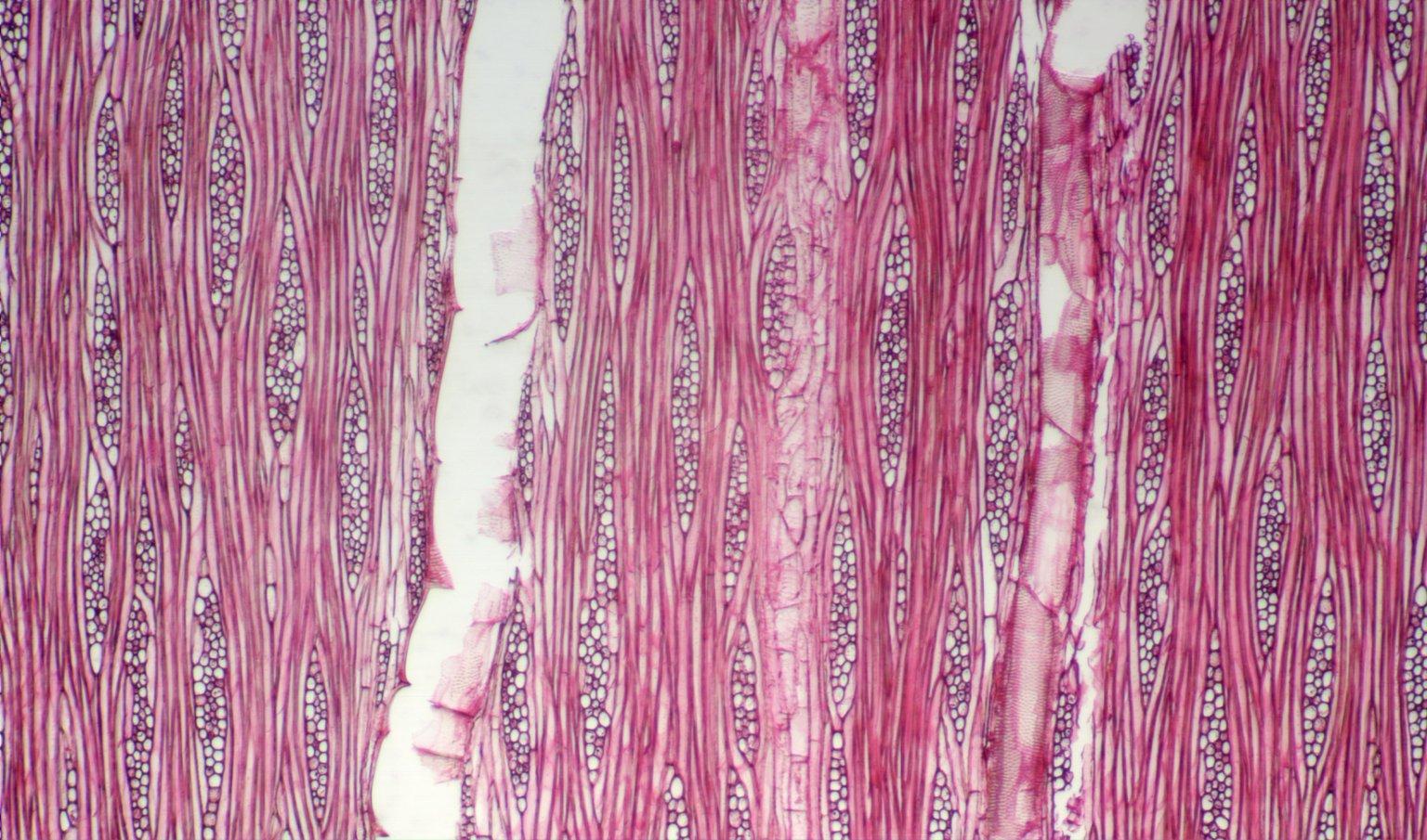 LEGUMINOSAE CAESALPINIOIDEAE Copaifera multijuga