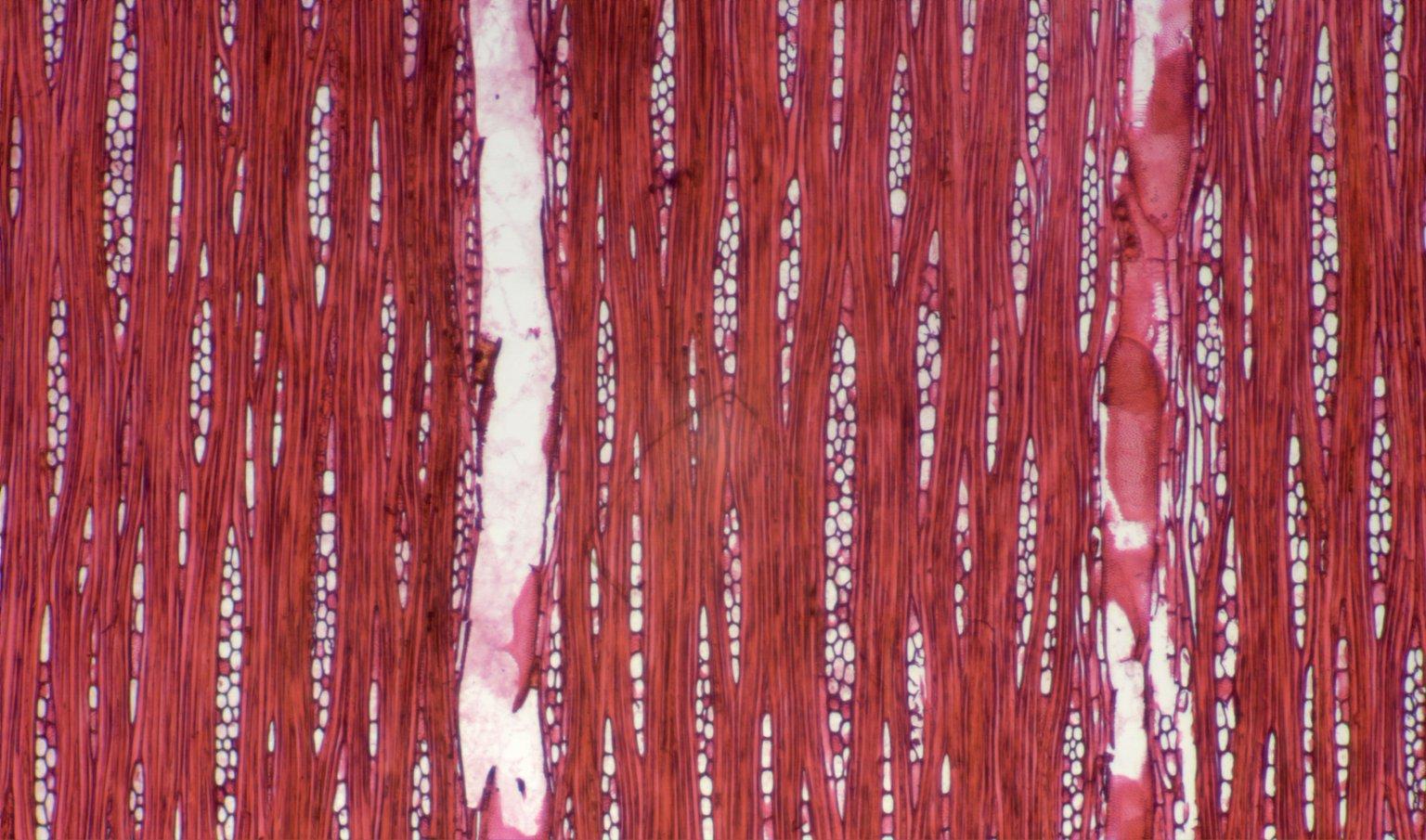 LEGUMINOSAE CAESALPINIOIDEAE Eperua grandiflora