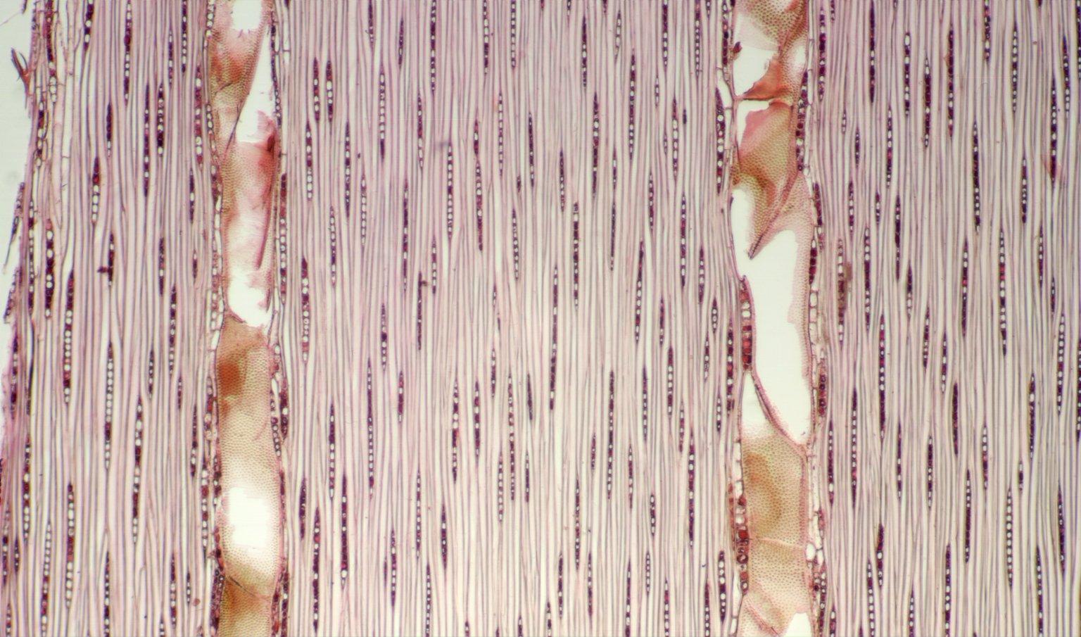 LEGUMINOSAE CAESALPINIOIDEAE Sclerolobium melinonii
