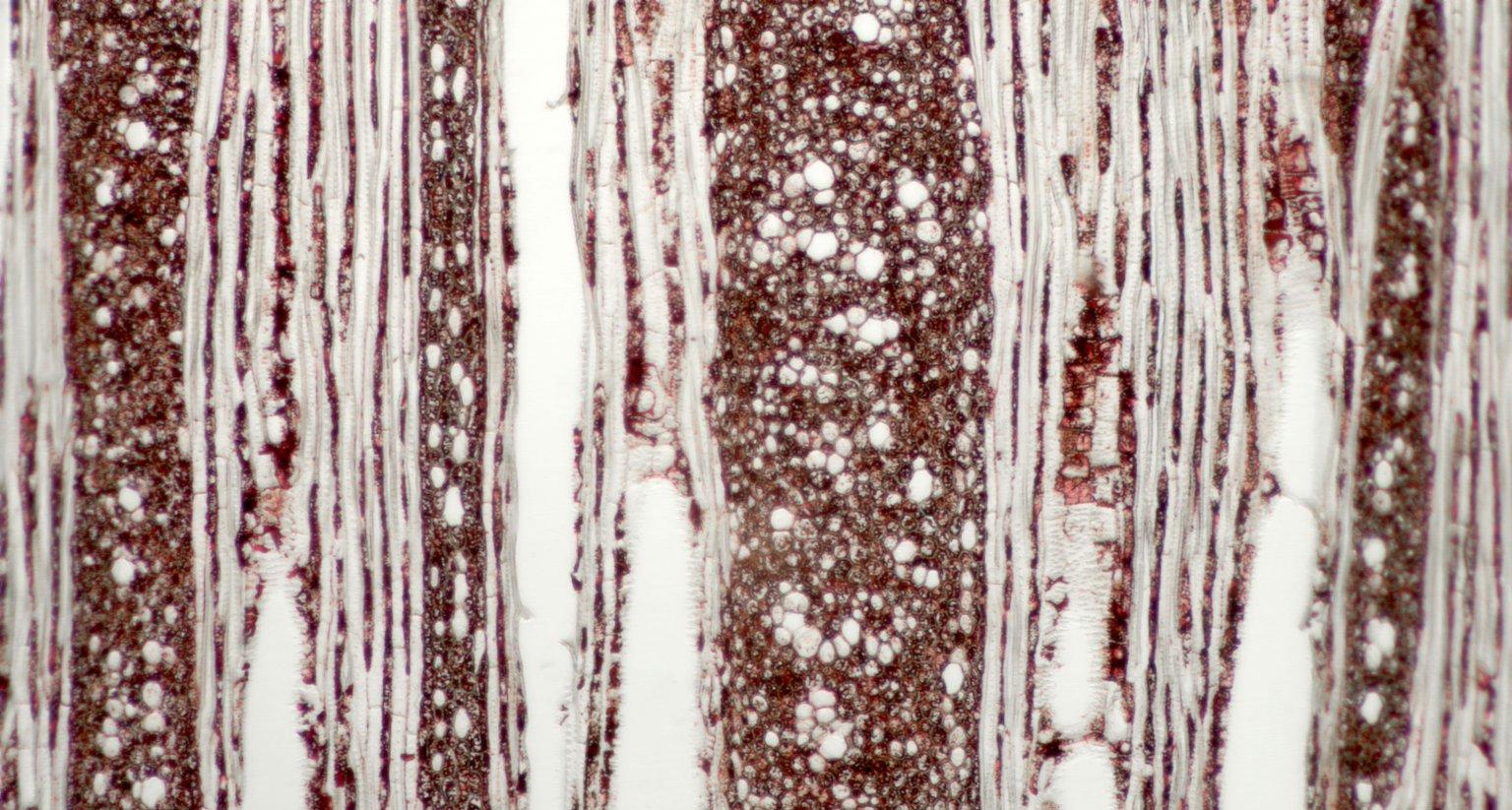 DILLENIACEAE Tetracera asperula