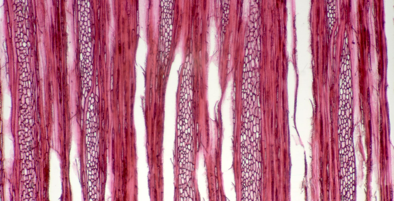 ERICACEAE Themistoclesia pendula