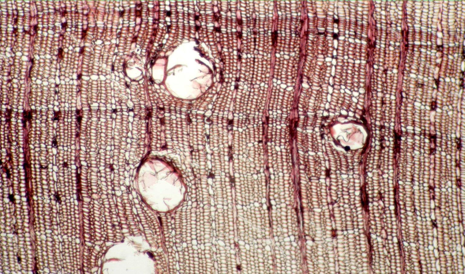EUPHORBIACEAE Hevea guianensis