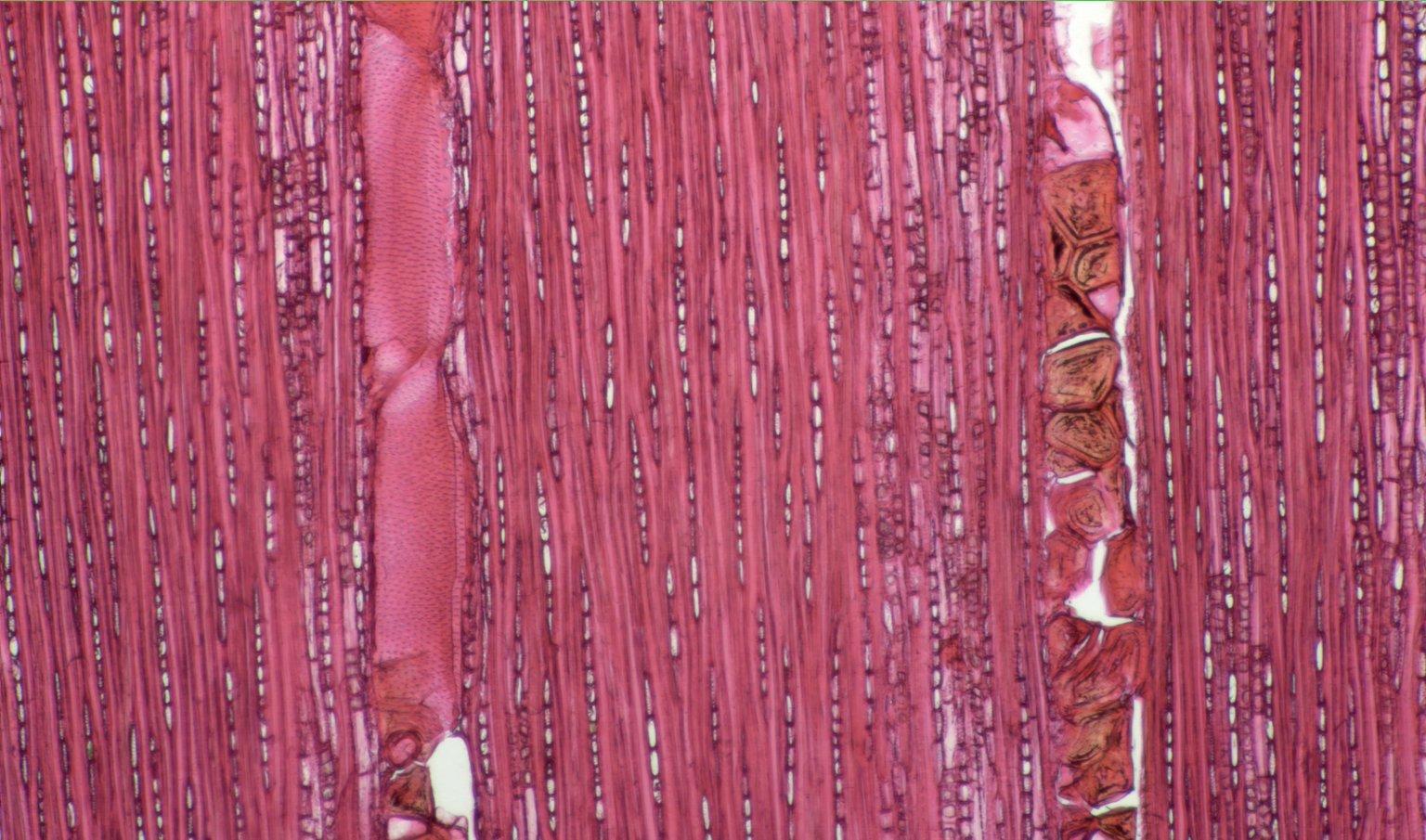 PERACEAE Pera bumeliifolia