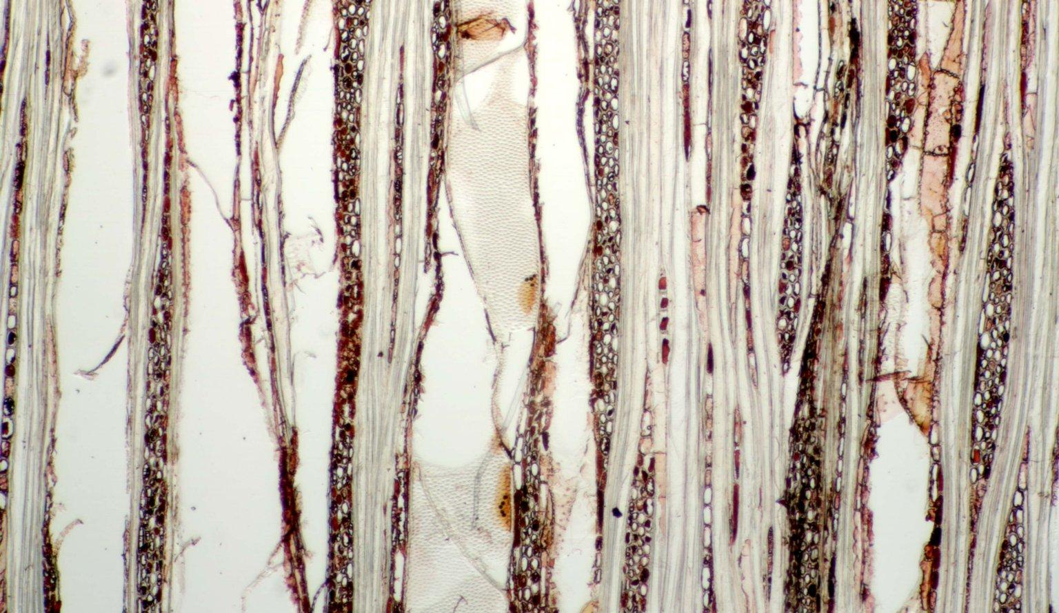 PHYLLANTHACEAE Spondianthus preussii