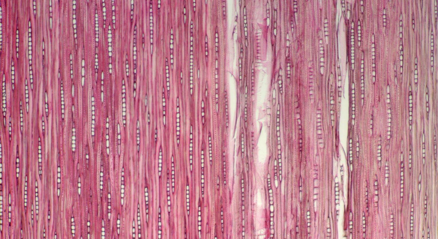 CALOPHYLLACEAE Calophyllum inophylliodes
