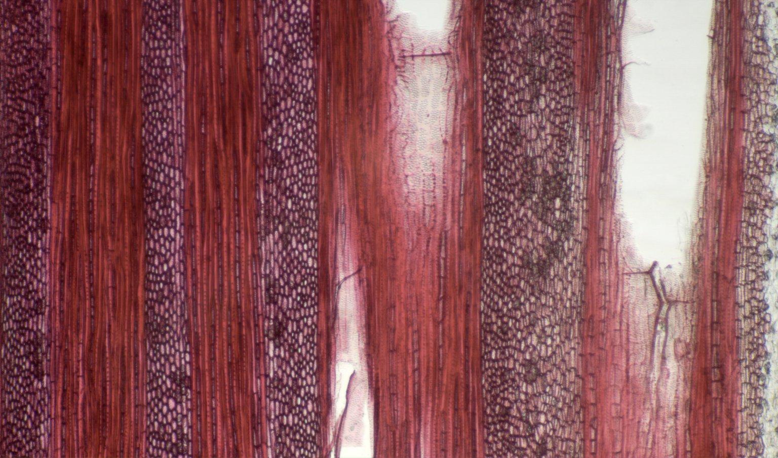 ICACINACEAE Leretia cordata