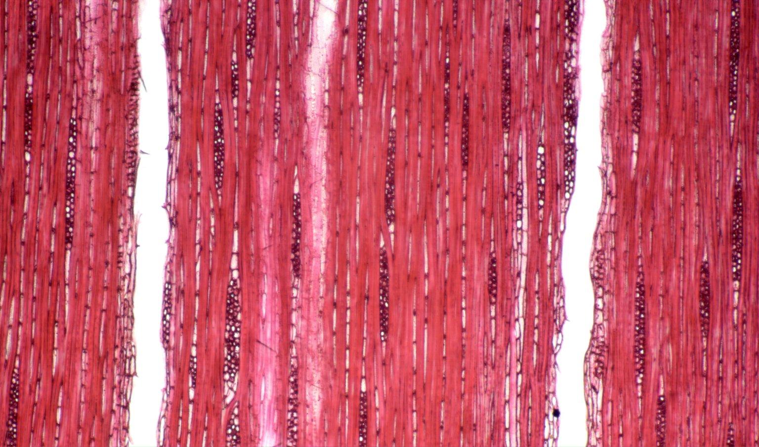 LOGANIACEAE Strychnos erichsonii