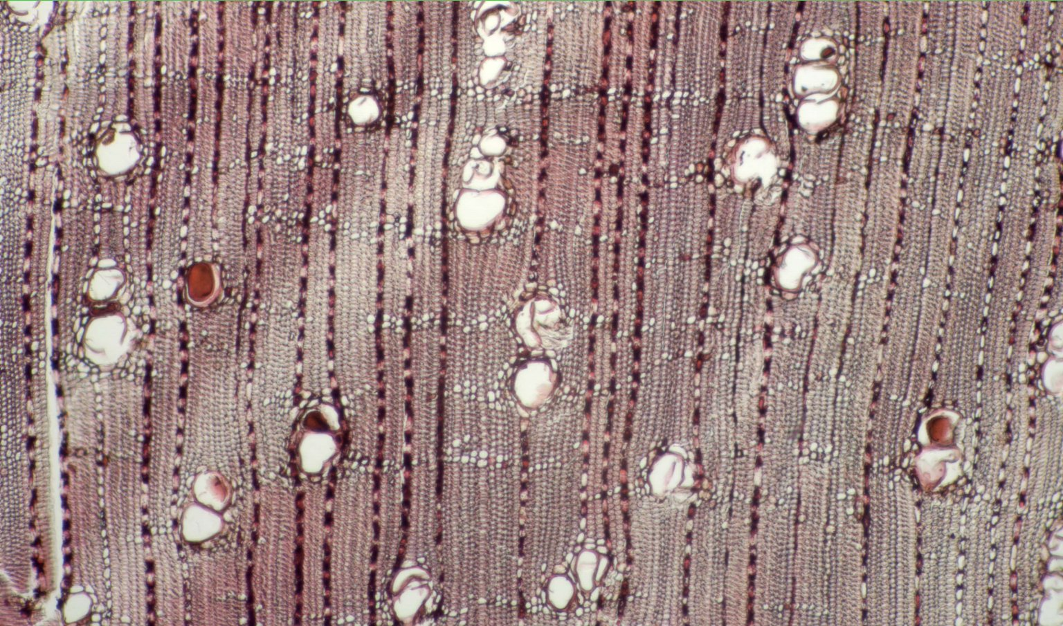 MELIACEAE Trichilia micrantha