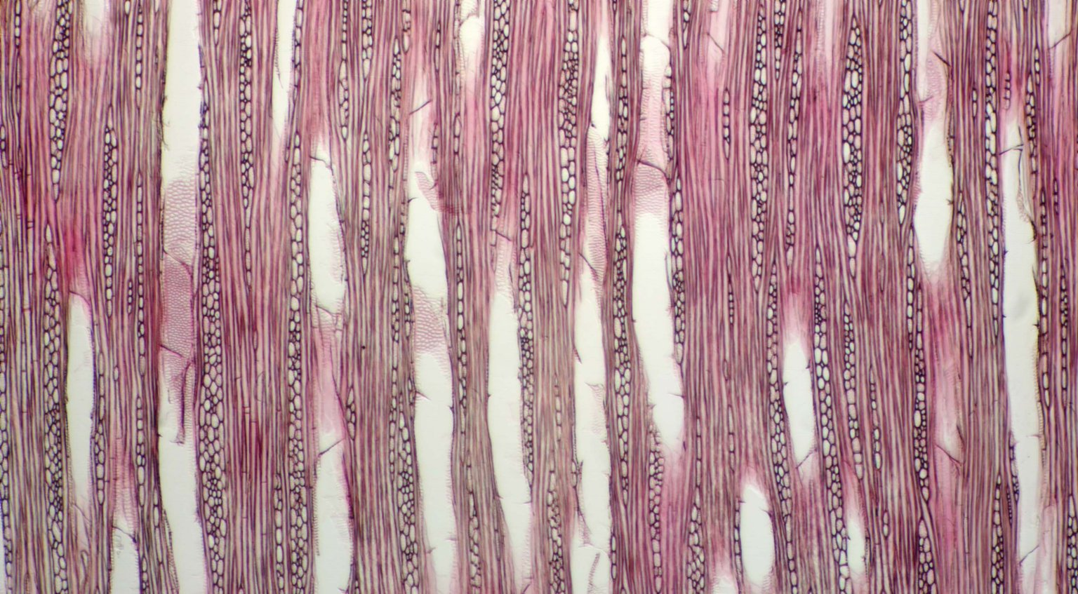 MELASTOMATACEAE Tibouchina catharinensis