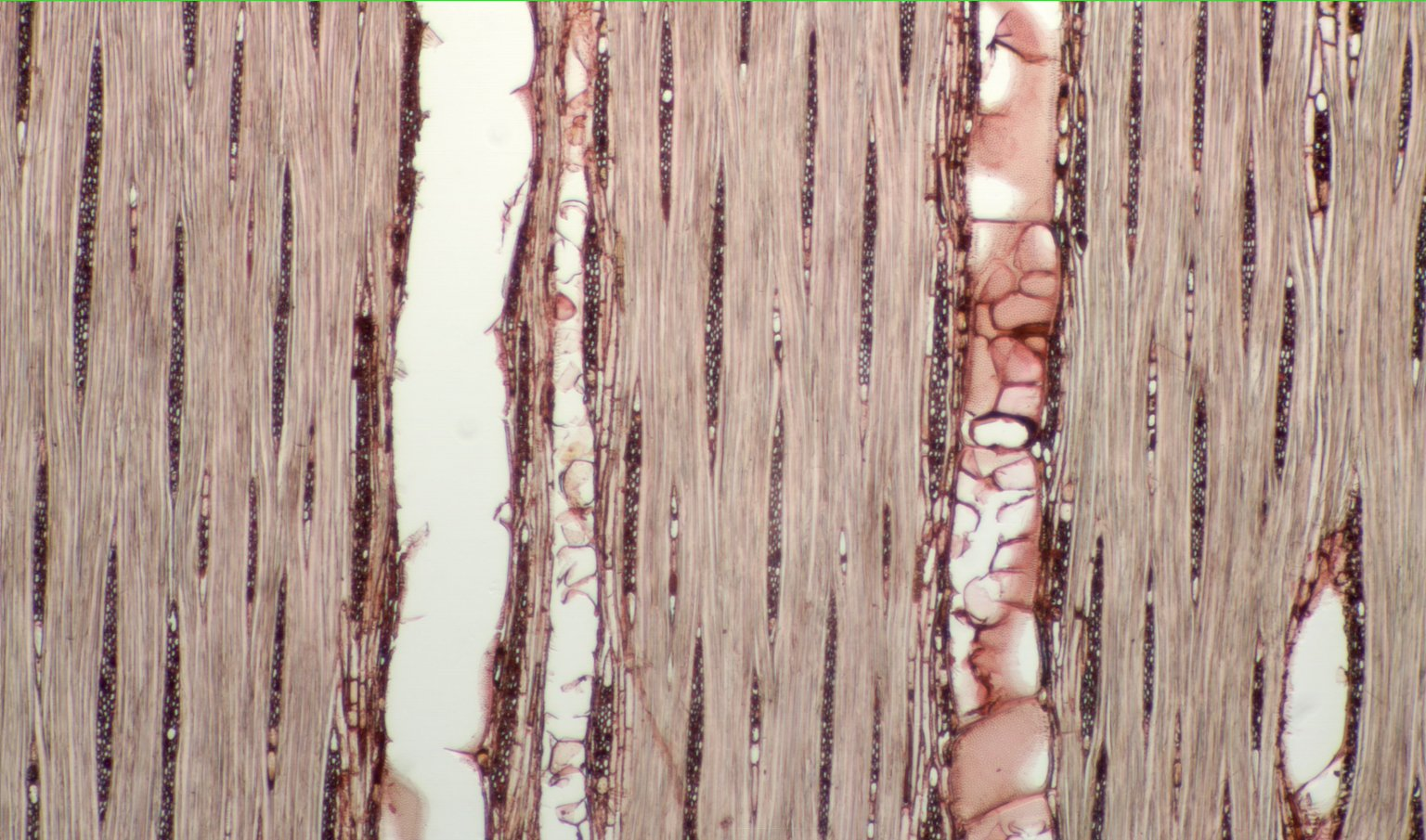 MORACEAE Brosimum lactescens