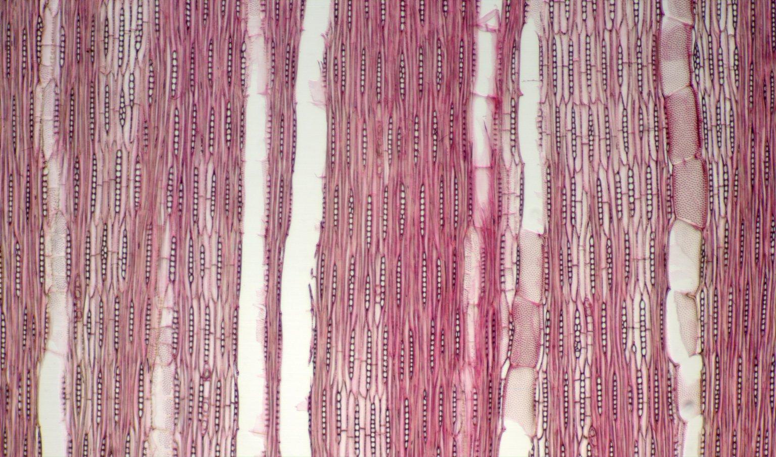 LEGUMINOSAE PAPILIONOIDEAE Platypodium elegans