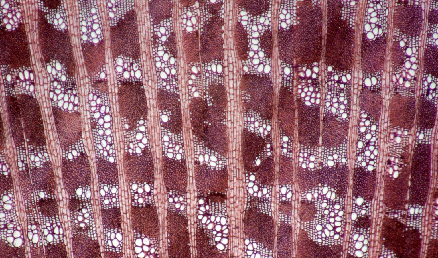 LEGUMINOSAE PAPILIONOIDEAE Sophora masafuerana
