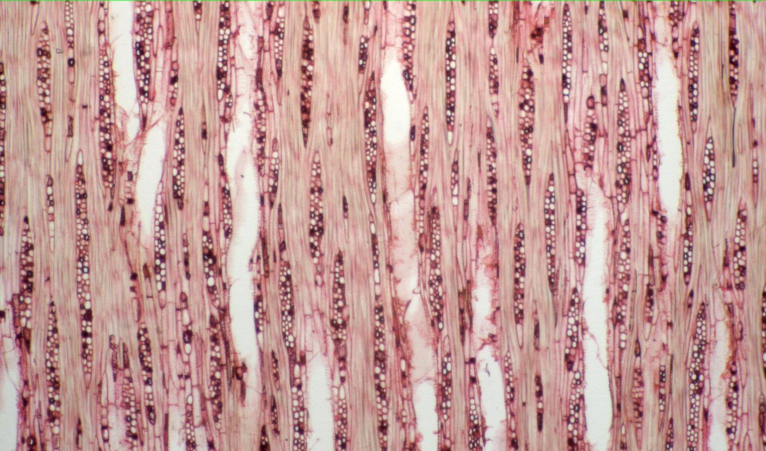 MORACEAE Naucleopsis ulei