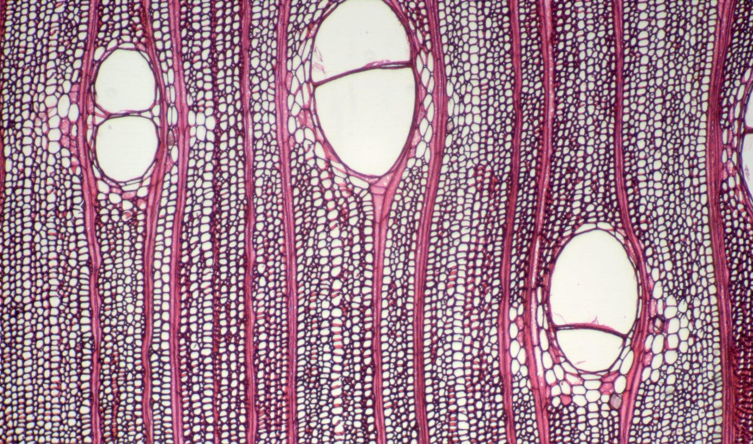 MORACEAE Parartocarpus bracteatus
