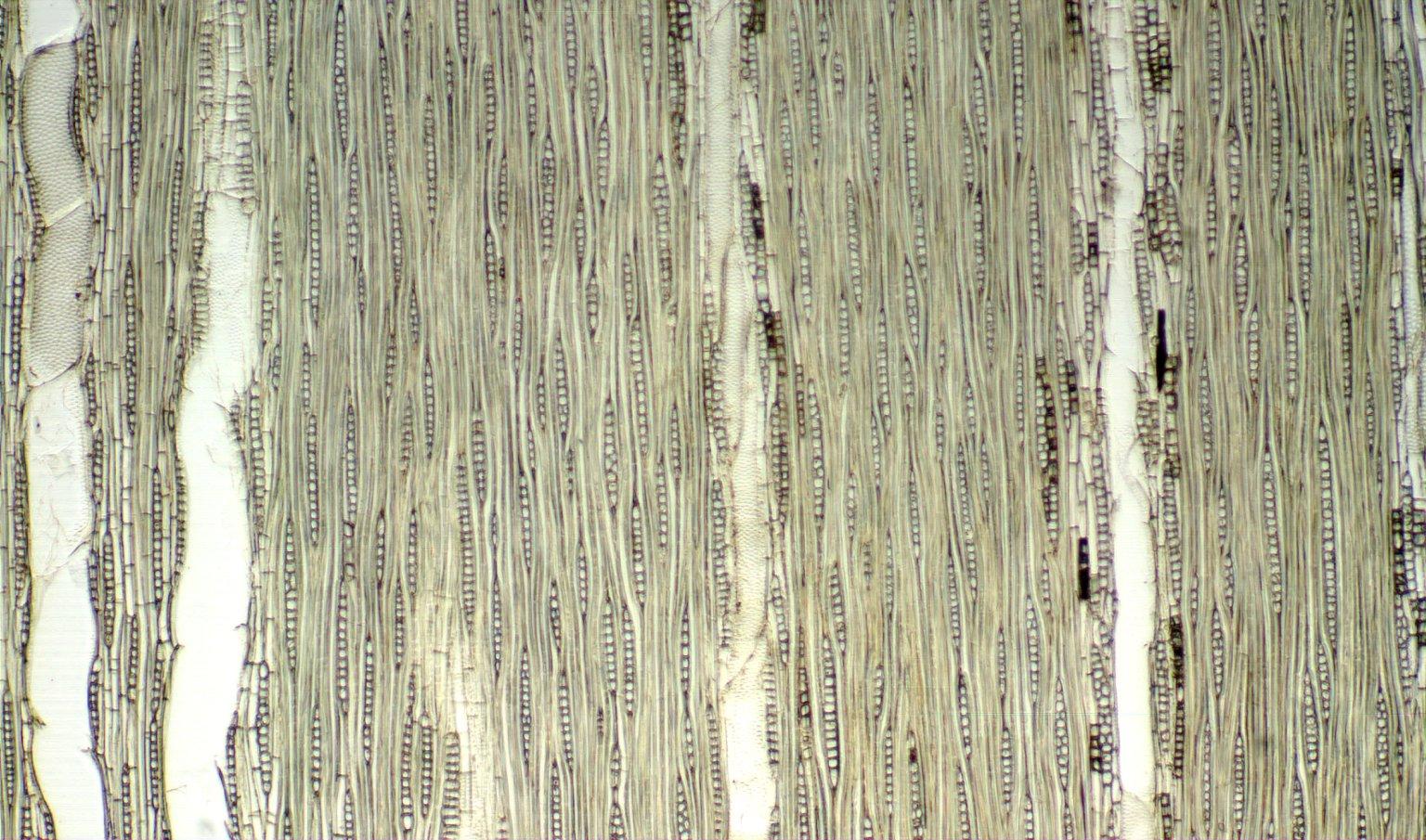 RUBIACEAE Geophila leucocarpa