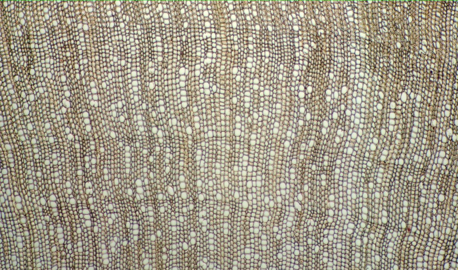 RUBIACEAE Strempelia cornifolia