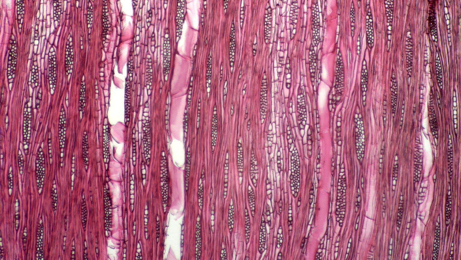 CANNABACEAE Celtis trinervia