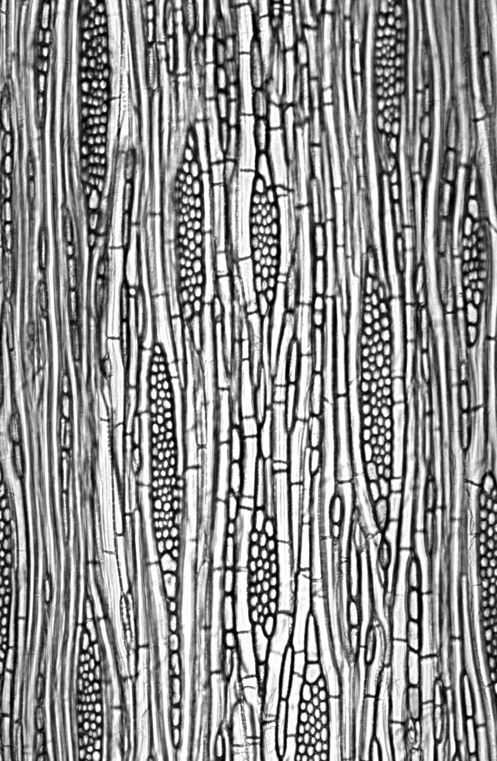 APOCYNACEAE Cameraria latifolia