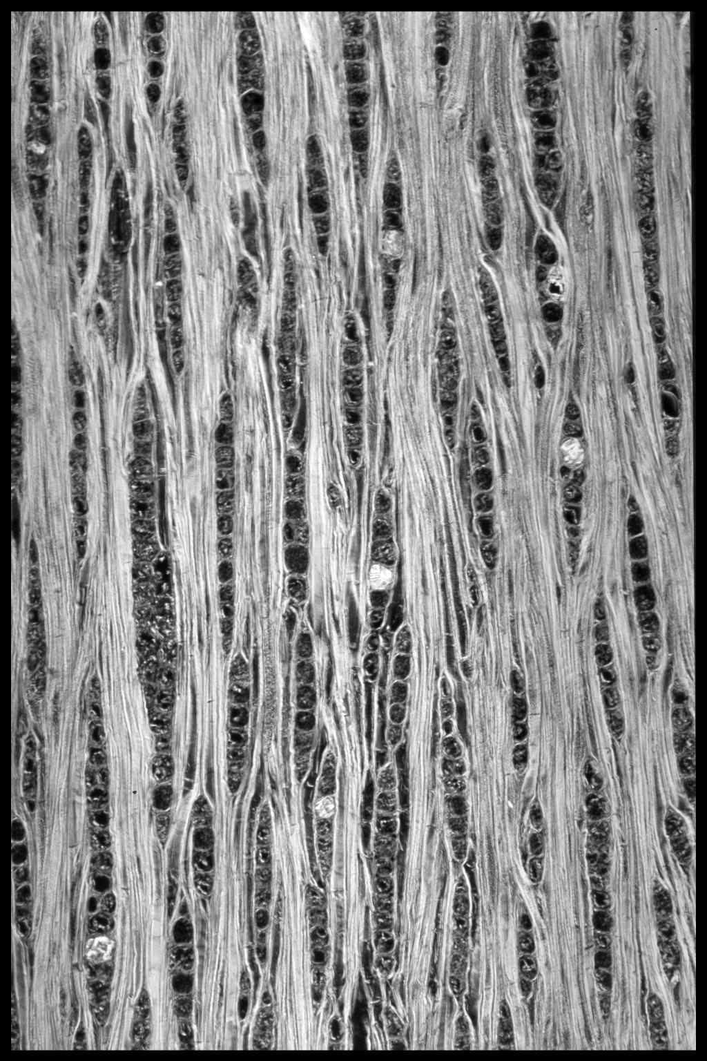 COMBRETACEAE Terminalia tomentosa