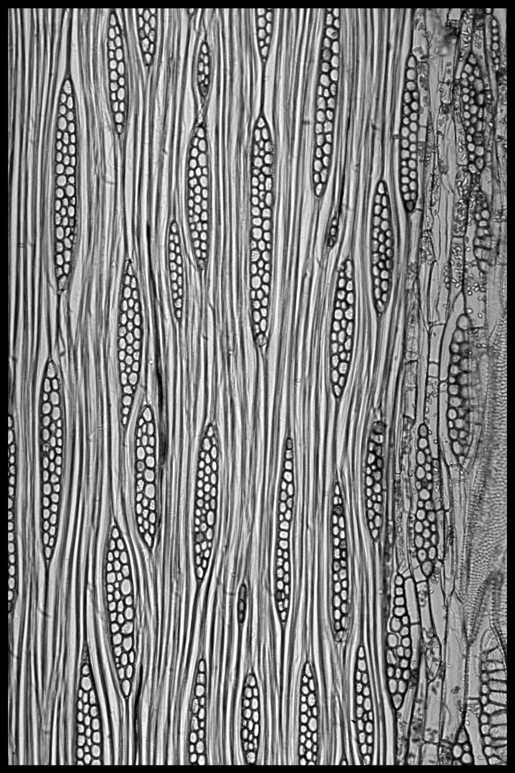 LEGUMINOSAE CAESALPINIOIDEAE Mimosoid Clade Fillaeopsis discophora