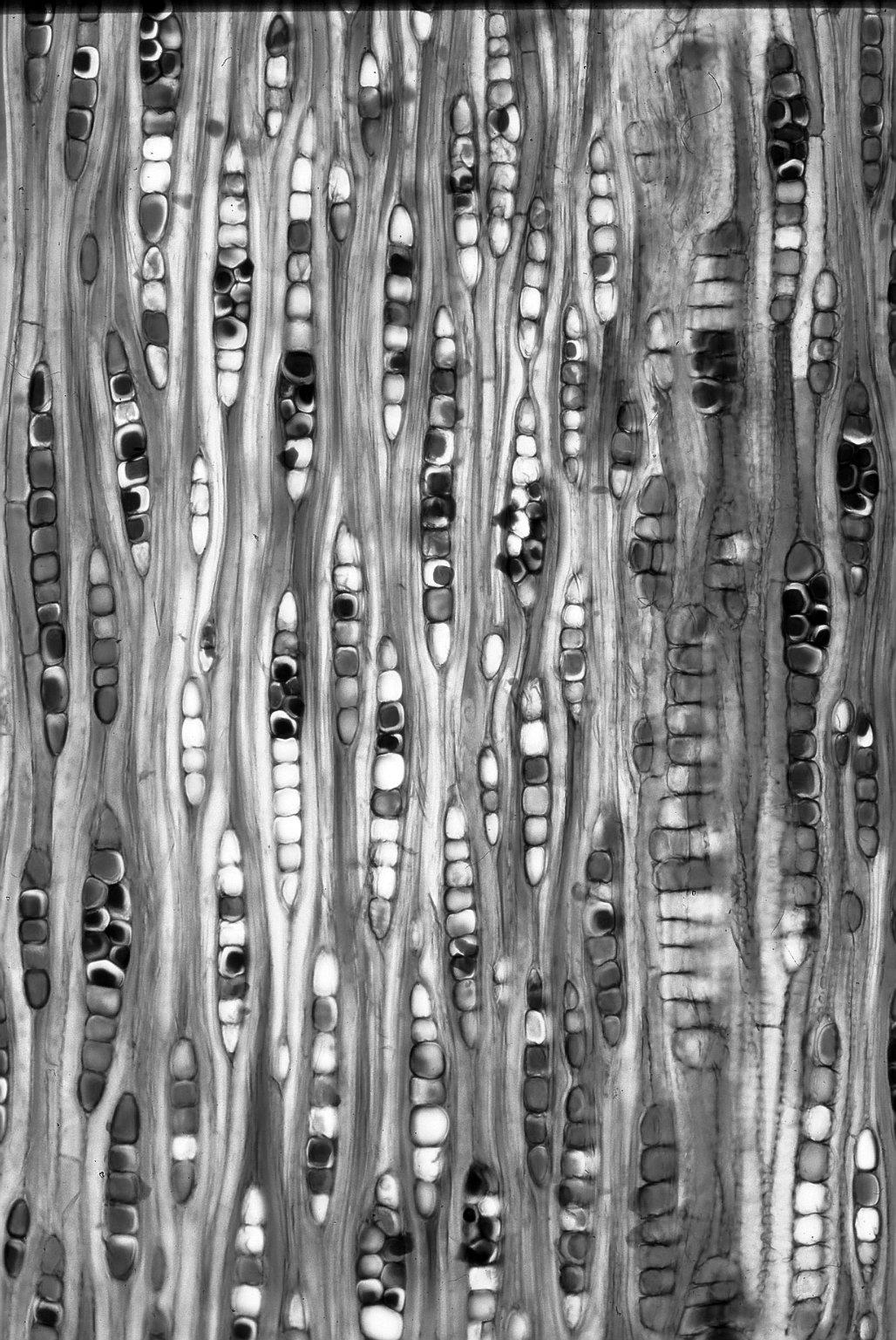 MYRTACEAE Eucalyptus marginata