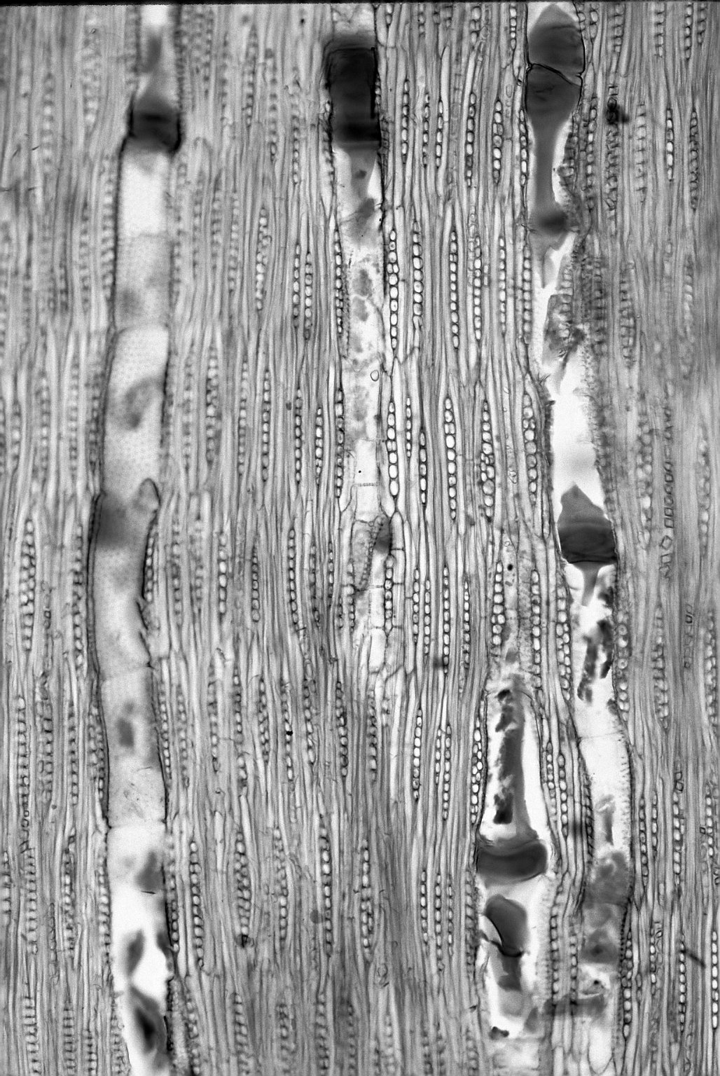 LEGUMINOSAE PAPILIONOIDEAE Machaerium scleroxylon
