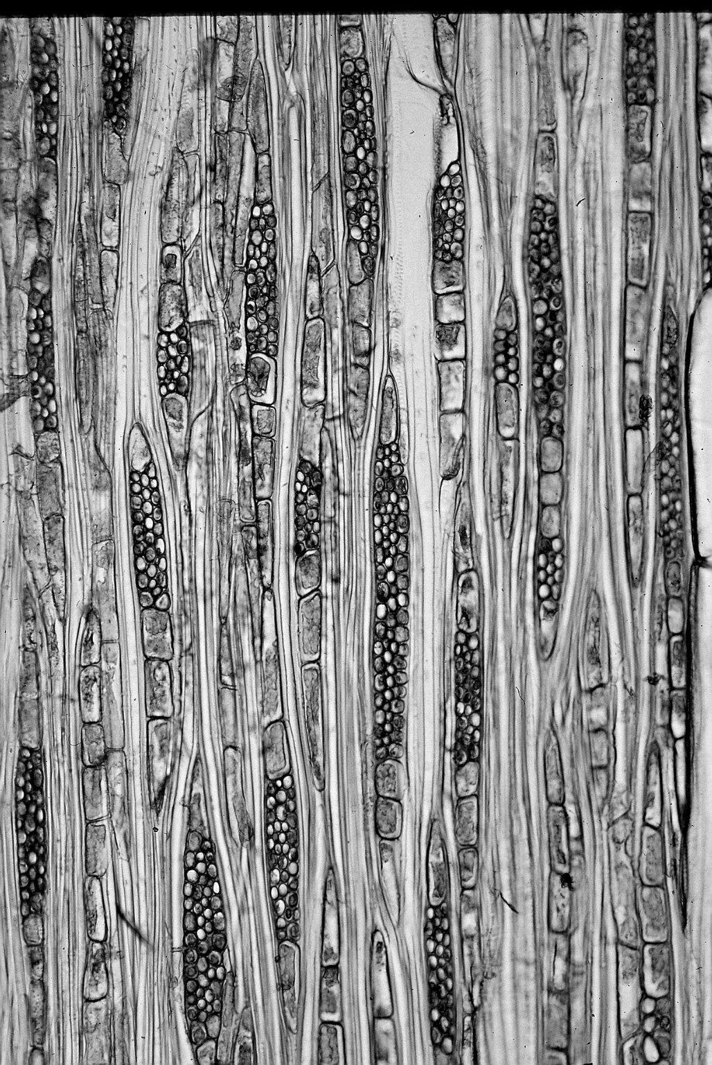 RUBIACEAE Genipa americana