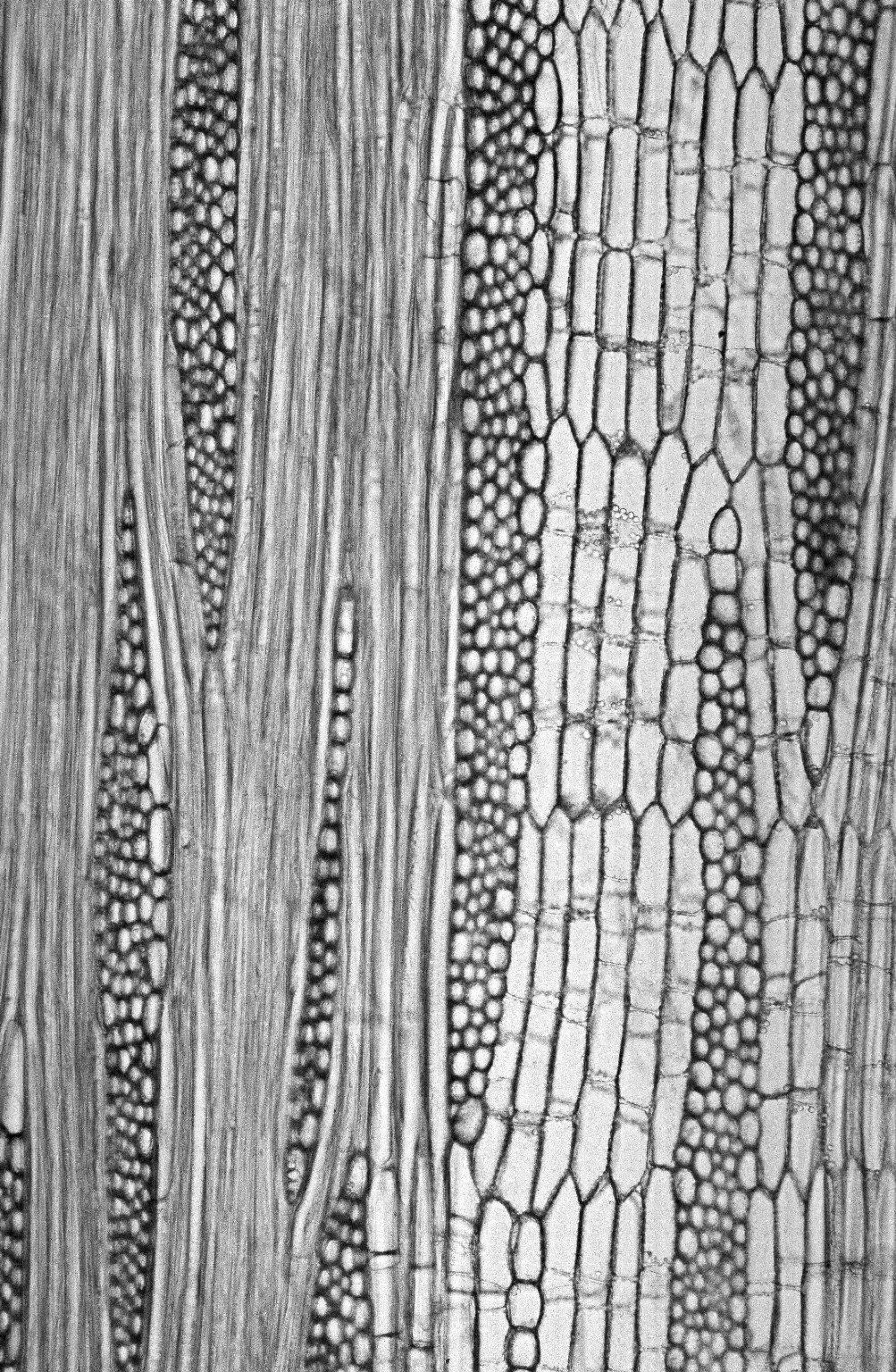 MALVACEAE STERCULIOIDEAE Pterygota macrocarpa
