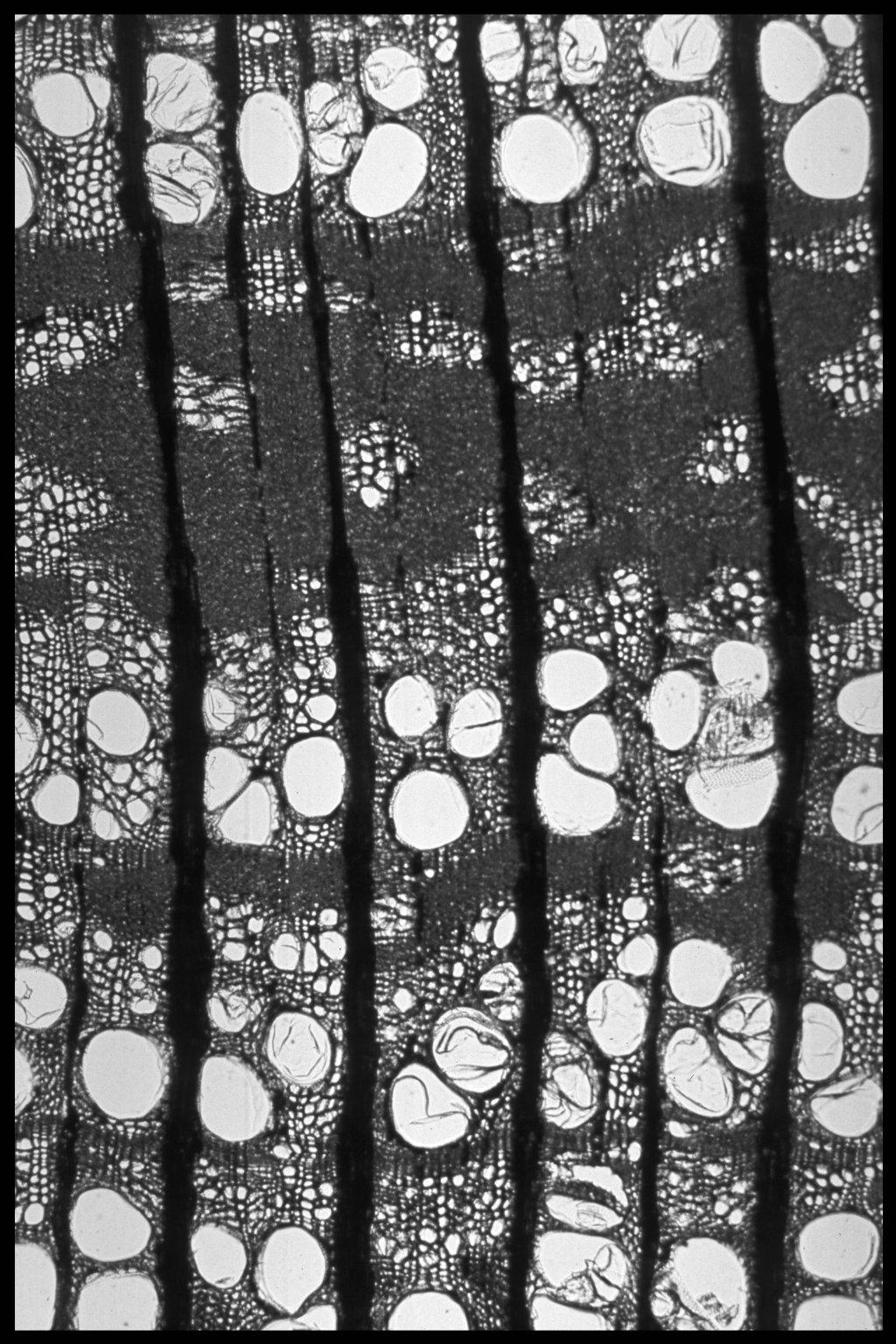CANNABACEAE Celtis australis