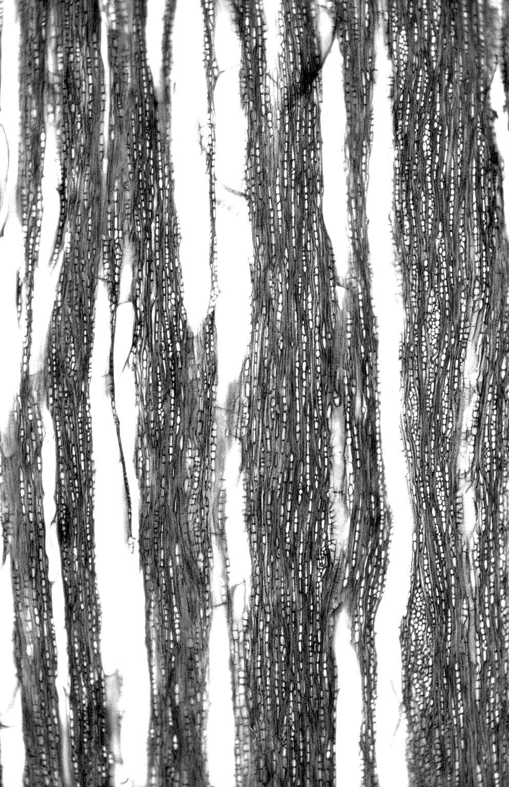 CELASTRACEAE Cheiloclinium anomalum