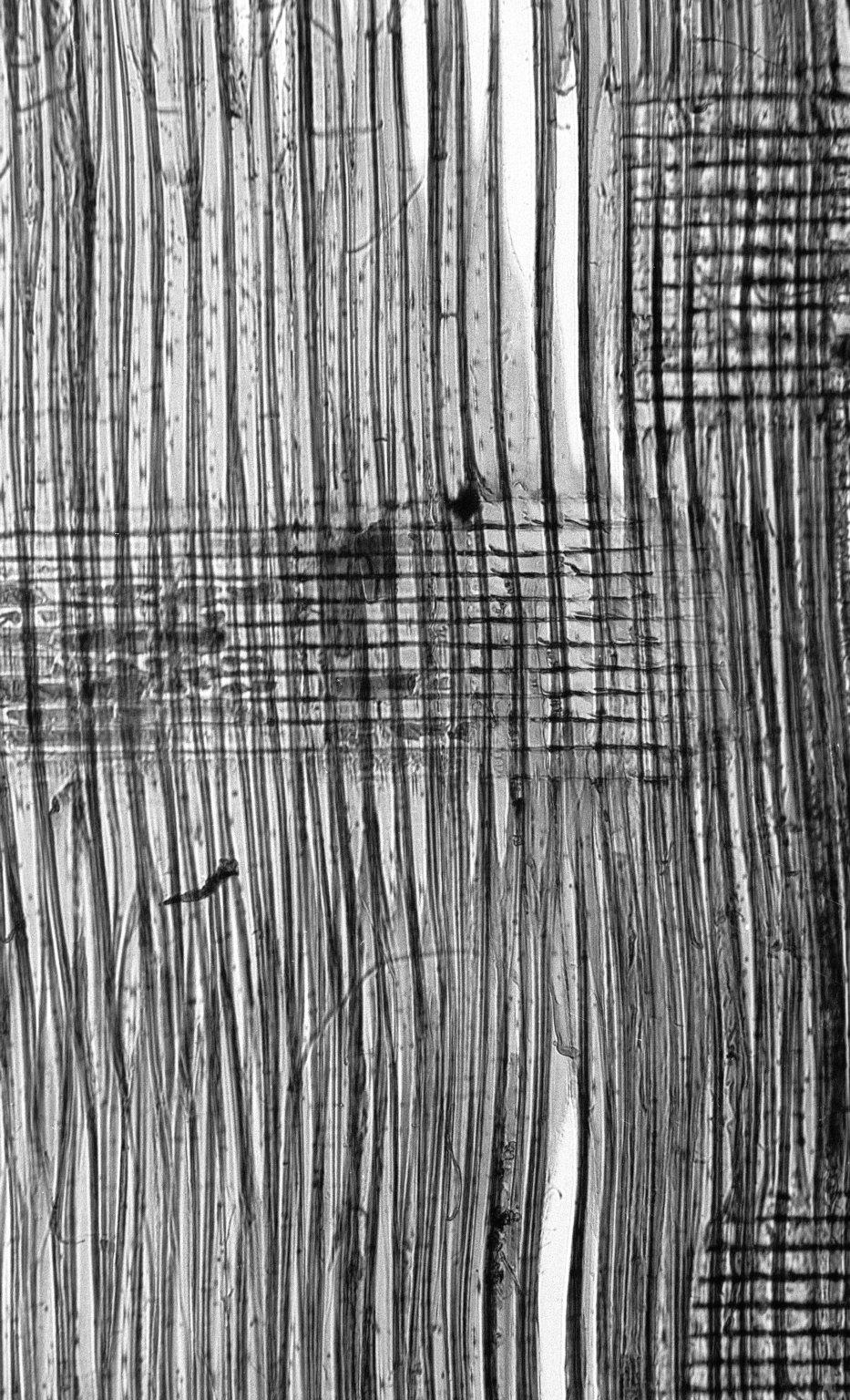 LEGUMINOSAE MIMOSOIDEAE Archidendron lucyi
