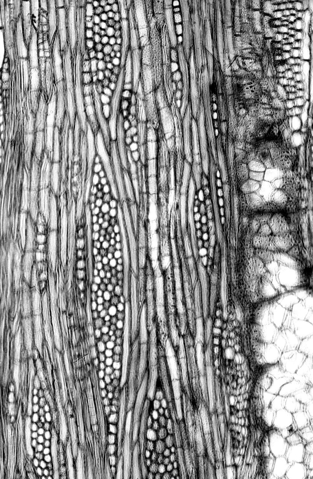 MORACEAE Cudrania pubescens