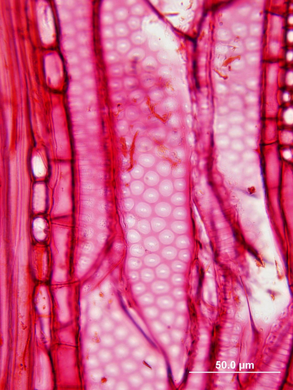CANNABACEAE Celtis occidentalis